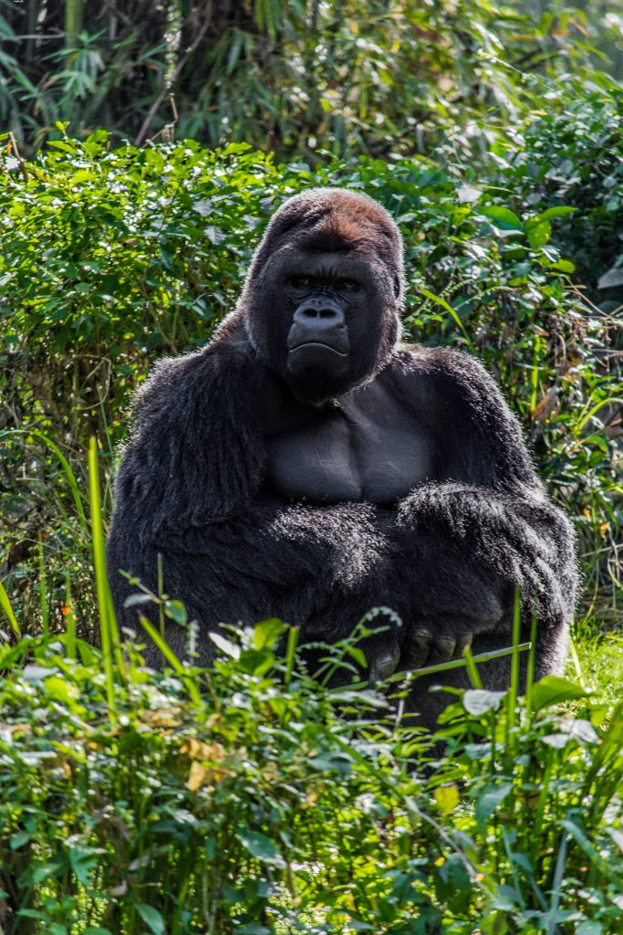 image of a black gorilla in bright green grass backlit from the sun behind it